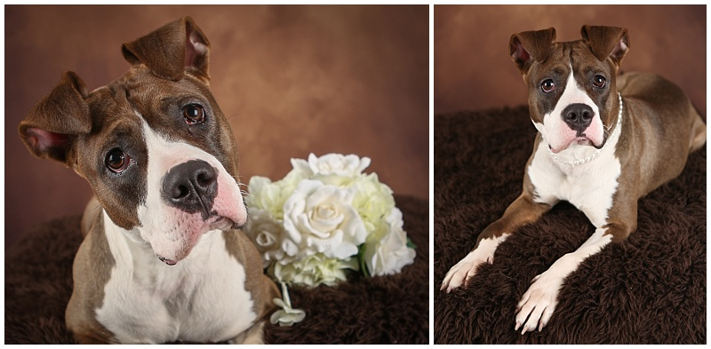 Avery - adoptable pit bull