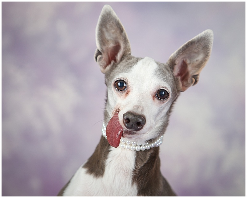 Adoptable Italian Greyhound